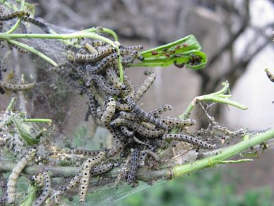 Spindle Tree Caterpillars