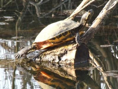 Ninja Turtle at Radley Lakes