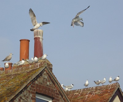 Seagulls on Wilsham Road