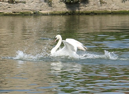 Psycho Swan attacking ducks and geese