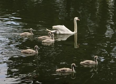 Abingdon Swans