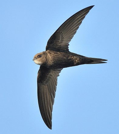 Swifts at Churchill Retirement