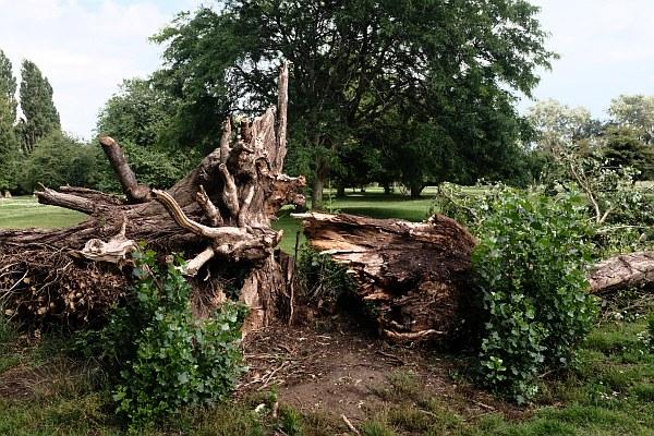 Fallen Poplar