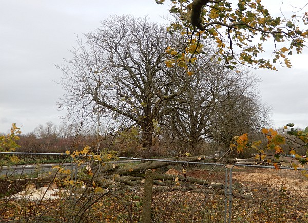 Wootton Road Tree Cutting and Archaeology