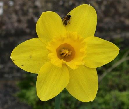 Daffodils, Daffodils, Daffodils